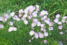 evening primrose on the list for quite some time