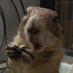もぐもぐスロー撮影。 れんげはしおんが来てから オヤツとかを取られまいと 口にいっぱい頬張って食べるようになった。 ほっぺが膨らんでるよ(^◇^;) . むっちゃむっちゃやって ヘンテコな動きだねw . .  .  スロー動画  #プレーリードッグ #ふわもこ部 #アニマル写真部 #animalphotoclub #prairiedog #groundsquirrel #土撥鼠 #pet #cute #kawaii #showcasing_pets #pets_of_our_world #れんげ #Renge  2016.03.09