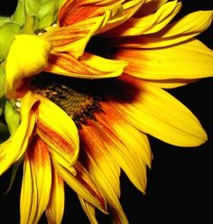 Red striped yellow sunflower