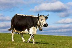 Vosges cattle (Vosgienne) France