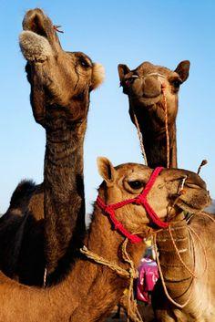 little camel fammie