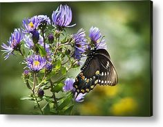 Awakening Butterfly by Christina Rollo © www.rollosphotos.com. Macro photograph of a delicate Black Swallowtail Butterfly (Papilio polyxenes), feeding on a purple New England Aster flower, against green background, in an autumn flower garden.