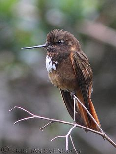 Colibrí condecorado (Aglaeactis castelnaudii)