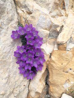 Alpenglockenblumen