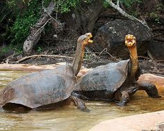 """Galapagos tortoises These giant tortoises are so iconic that the islands were named after them (""""galapago"""" means """"tortoise"""" in Spanish). The..."""