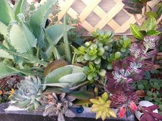 Succulents Many different kinds
