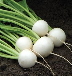 Hakurei (F1) - This white salad turnip sets the standard for flavor. Harvest when the turnips are golf ball-sized and the greens are also flavorful at the same time.