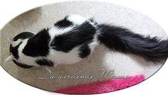 Respectcoon X'Pandora, black harlequin Maine Coon