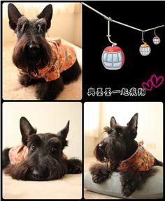 Scottish Terrier: MoMo...  oh MoMo-- you are just so stinkin' cute!