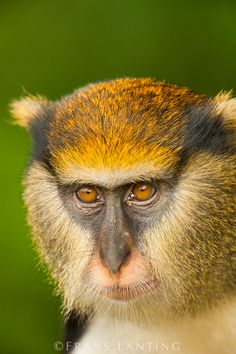 Africa | Mona monkey, Boabeng-Fiema Monkey Sanctuary, Ghana | © Frans Lanting