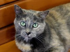 Meet Prancer, an adoptable Tortoiseshell looking for a forever home. If you're looking for a new pet to adopt or want information on how to get involved with adoptable pets, Petfinder.com is a great resource.