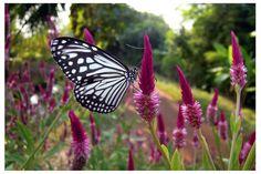 Butterfly 1 by kiew1.deviantart.com on @DeviantArt