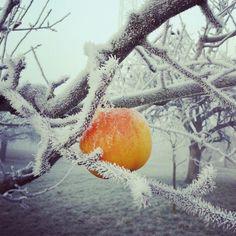 Winter Apple Snow, Apple, Winter, Nature, Photos, Outdoor, Apple Fruit, Winter Time, Outdoors