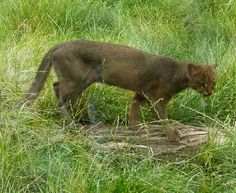 apparently the Jaguarundi has made it to wild Florida