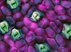 Wandering Jew Leaf Stomata -- Click to enlarge