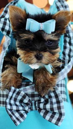 Teacup Yorkies For Sale, Teacup yorkie dogs