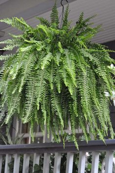 The traditional Boston Fern is happy in the shade of the porch. It's leaves cover the moss basket it is growing in. Daily watering, frequent fertilizing and large containers are the tricks to making this tender tropical thrive.