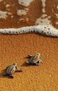turtle, beach, and sea image Cute Wild Animals, Baby Animals Super Cute, Baby Animals Pictures, Cute Animal Photos, Cute Little Animals, Cute Funny Animals, Cute Dogs, Beautiful Sea Creatures, Animals Beautiful