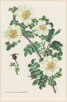 1960 Vintage Botanical Print Scots Rose Rosa by Craftissimo