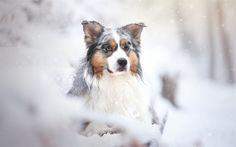 Download wallpapers Australian Shepherd, dog, winter, forest, snow, Aussie, pets