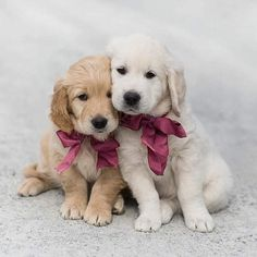 Prove Love, Purebred Dogs, Baby Dogs, Dog Names, Dog Breeds, Labrador Retriever, Retriever Puppies, Your Pet, Dog Cat
