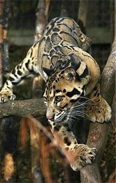 A pinner said this was an ocelot? I think not. This is a clouded leopard.  Ocelots are in S. America. Clouded leopards are in Asia. They really don't look that much alike to me.