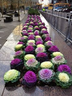 Decorative cabbage flowering containers and flower beds to deep frostCalifornia decor ideas Create comfort together is part of Ornamental cabbage If you have never heard of decorative cabbage, t - Most Beautiful Flowers, Beautiful Gardens, Beautiful Beds, Cabbage Flowers, Cabbage Plant, Ornamental Cabbage, Flower Bed Designs, Fall Containers, Fall Planters