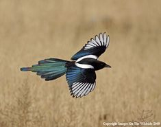 Magpie In-Flight | Magpie in Flight