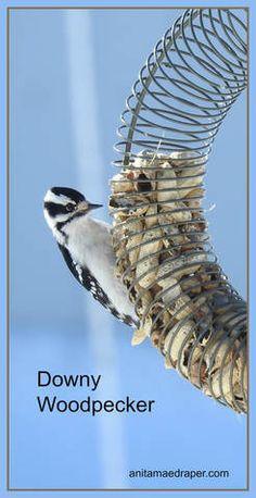 Downy Woodpecker Female, RM Montmartre, SK, Mar 2018. Source: Anita Mae Draper Downy Woodpecker, Kinds Of Birds, Fisher, Bird Drawings, Bird Watching, Beautiful Birds, Beautiful Creatures, Bird Houses, Animal Kingdom