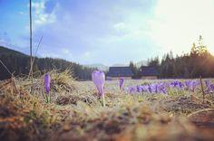 Krokusowo nam! 🌸🌸🌸 #zakopane #tatry #mountains #photo #photooftheday #krokus #krokusy #wiosna #spring #dolinachocholowska #dolinachochołowska #villa #nosal #villanosal