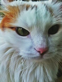 Sevgili kedim Farfara