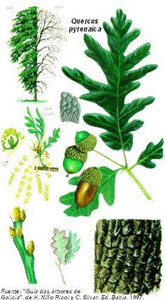 Quercus pyrenaica (Cerquiño)