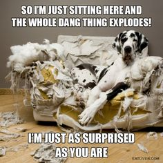 Great Dane / It needed plumping. I see a Great Dane in our future :) Love My Dog, Funny Animal Pictures, Funny Animals, Cute Animals, Dog Pictures, Hilarious Photos, Random Pictures, Funny Images, Caption Pictures