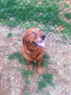 Chaya has been adopted! This is Chaya and she is 3-4 years old. She is house broken, walks well on a leash, gets along with other dogs but has not been cat or kid tested. Chaya is not crate trained but does fine left alone in her foster familys house with no incidents. Chaya is looking for a forever home and is at Tennessee Valley Golden Retriever Rescue.