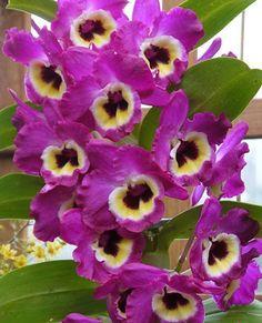 As famosas orquídeas Olho-de-boneca (Dendrobium hybrid)  Por conta da facilidade de cultivo, as orquídeas olho-de-boneca são uma ótima opção para quem quer começar a se aventurar no mundo dessas belas plantas. São muitos os cultivares da espécie.  A orquídea perene é típica de clima tropical e precisa de invernos bem marcados para estimular sua floração na primavera. Cultive-a presa aos caules de árvores e palmeiras ou em vasos com substrato específico para orquídeas.  Embora aprecie…