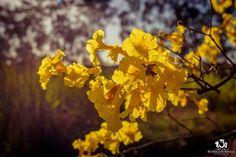 Ipês Amarelos da Fazenda Experimental Pindorama