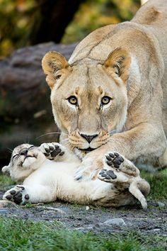 Tickling the cub by Daniel Münger