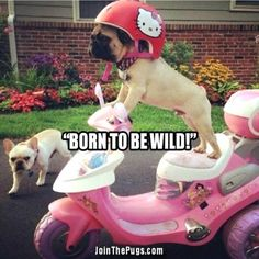 Pug on Wheels - Join the Pugs