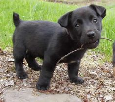Jack Russell Terrier an all black one! Impossible, I thought!!! <3
