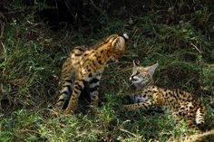 Kittens of the rarest Cat of Africa; The Serval Cat….. in a play full mood !!!