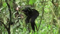 New evidence of cultural diversification between neighboring chimpanzee communities.