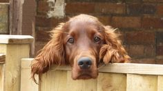 My very own 'Kilroy'! #IrishSetter