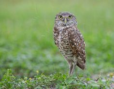 Burrowing Owl by Elizabeth. E. on 500px