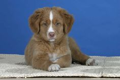 Image Detail for - Nova Scotia Duck Tolling Retriever, puppy, 9 weeks Duck Toller