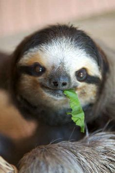 """""""Noms.""""   The 27 Happiest Sloths In The World"""