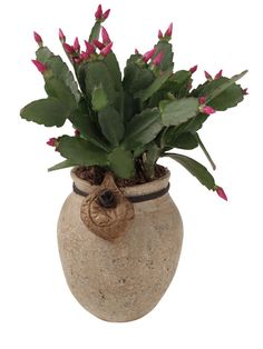 Grow Christmas Cactus this Season