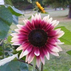Paper Pot, Garden Soil, Gardening, Porch Garden, Garden Seeds, Sunflower Seeds, Sunflower Garden, Sunflower Types, Organic Seeds