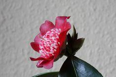 """Camellia jap. """"Lipstick"""""""