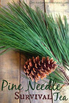 Pine Needle Survival Tea   Chickadee Homestead (.com) #pinetrees #pineneedles #tea #holistic #natural #naturalremedies #survival #preparedness #outdoors