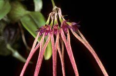 Bulbophyllum dasyphyllum Schltr. 1913